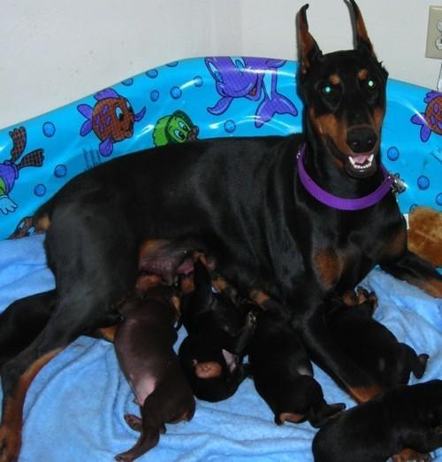Доберман и щенки