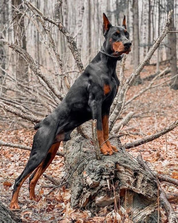 Собака в стойке