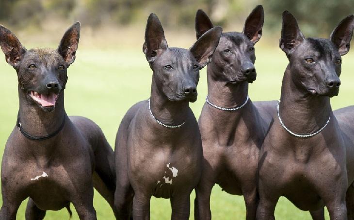 Собаки ксоло