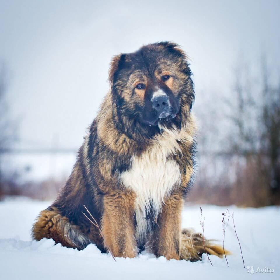 Пёс в снегу