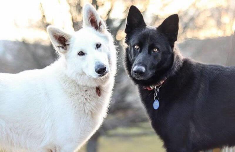 Чёрный и белый псы