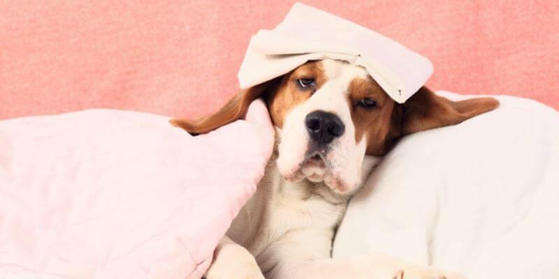 Лечение псов